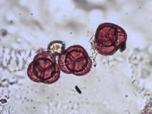 Pollen from the plant Species Pyrola rotundifolia.