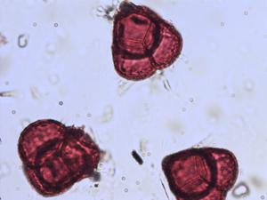Pollen from the plant Genus Moneses.