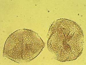 Pollen from the plant Species Opuntia saxicola.