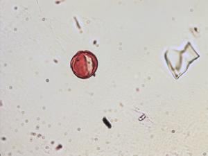 Pollen from the plant Genus Ballota.