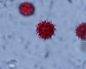 Pollen from the plant Genus Cota.