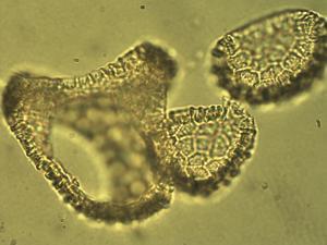 Pollen from the plant Species Passiflora caerulea.