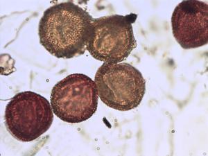 Pollen from the plant Species Cistus salviifolius.