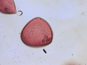 Pollen from the plant Genus Hyacinthoides.