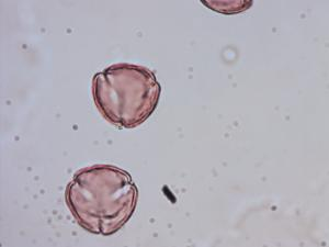 Pollen from the plant Genus Rhinanthus.