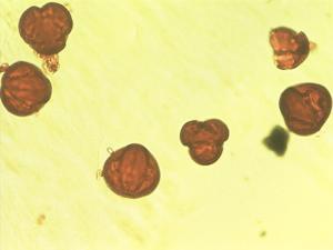 Pollen from the plant Species Euphorbia balsamifera.