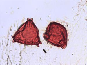 Pollen from the plant Species Elaeagnus angustifolia.