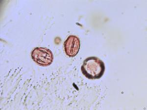 Pollen from the plant Species Dorycnium pentaphyllum.