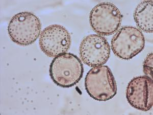 Pollen from the plant Species Campanula trachelium.