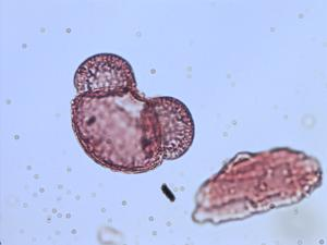 Pollen from the plant Species Pinus oocarpa.