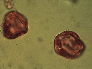 Pollen from the plant Species Carex ericetorum.
