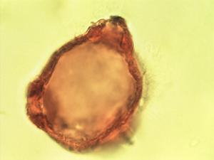 Pollen from the plant Genus Epilobium.