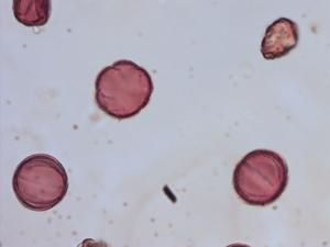 Pollen from the plant Species Mentha longifolia.