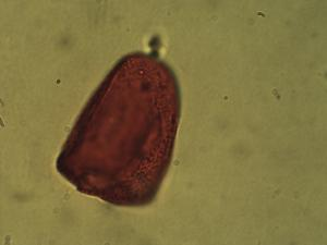 Pollen from the plant Genus Bolboschoenus.
