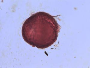 Pollen from the plant Genus Centranthus.