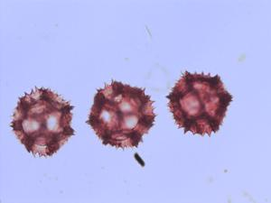 Pollen from the plant Species Crepis paludosa.