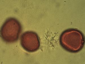 Pollen from the plant Genus Helictotrichon.