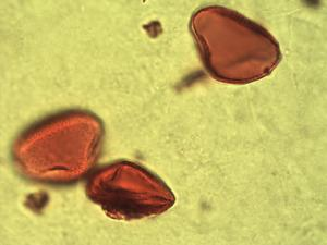 Pollen from the plant Genus Calamus.