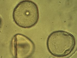 Pollen from the plant Genus Ammophila.