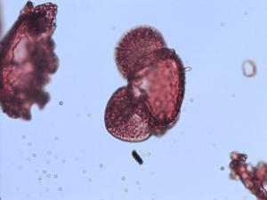 Pollen from the plant Species Pinus herrerae.