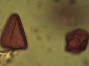 Pollen from the plant Species Carex vaginata.