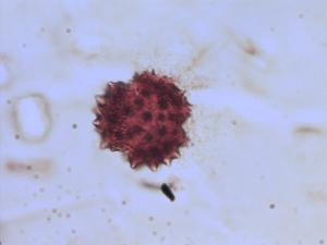 Pollen from the plant Genus Serratula.