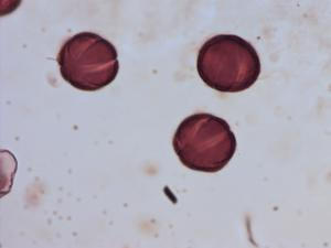 Pollen from the plant Genus Lycopus.