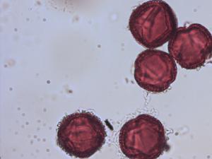 Pollen from the plant Species Viburnum tinus.