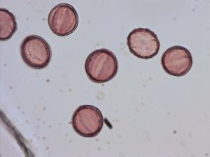 Pollen from the plant Species Salvia verticillata.