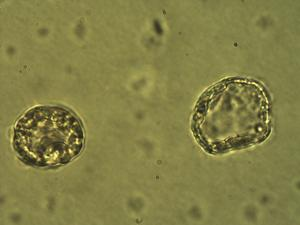 Pollen from the plant Genus Glyceria.