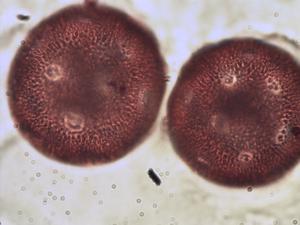 Pollen from the plant Species Calystegia soldanella.
