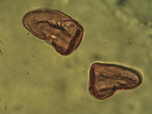 Pollen from the plant Species Carex dioica.