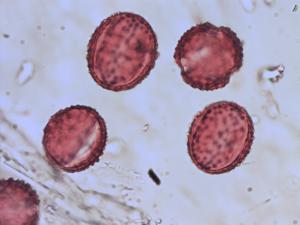 Pollen from the plant Species Centaurea jacea.