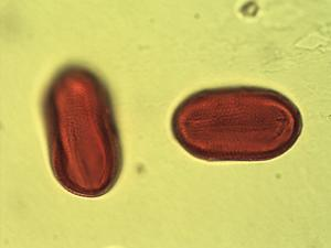 Pollen from the plant Genus Blepharis.