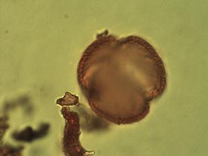 Pollen from the plant Species Isoberlinia doka.