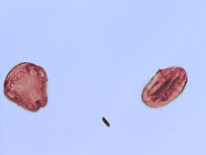 Pollen from the plant Genus Cornus.
