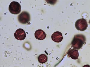 Pollen from the plant Genus Sisymbrium.
