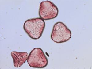 Pollen from the plant Species Phormium tenax.