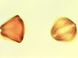 Pollen from the plant Genus Tessmannia.
