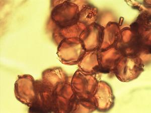 Pollen from the plant Genus Geoffroea.