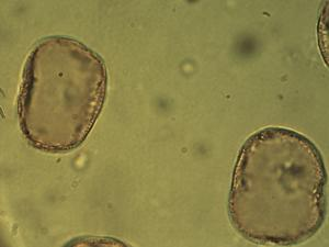 Pollen from the plant Genus Eriophorum.