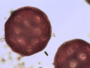 Pollen from the plant Genus Calystegia.
