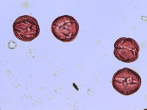 Pollen from the plant Genus Ceratonia.