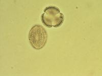 Pollen from the plant Genus Arabis.
