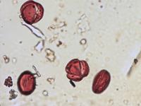 Pollen from the plant Genus Ajuga.