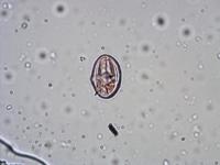 Pollen from the plant Genus Apium.