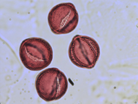 Pollen from the plant Genus Adonis.