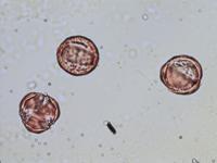 Pollen from the plant Genus Aconitum.