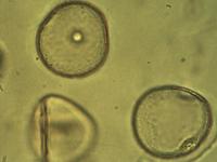 Pollen from the plant Genus Ammophila.