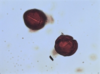 Pollen from the plant Genus Acourtia.